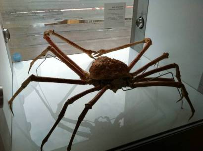 giant spider crab! [url=http://www.zoochat.com/207/japanese-spider-crab-manchester-museum-29-196013][img]http://photos.zoochat.com/thumb/lakeland_wildlife_mcr_museum_082-133124.jpg[/img][/url]