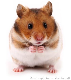 syrian-hamster_000008437184