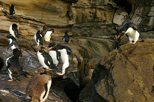 Falkland_Islands_Penguins_91 (1)